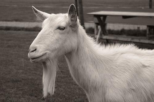 beard-goat