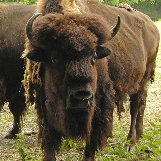 Bison Beard.jpg