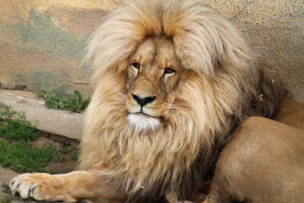 Lion Beard.jpg